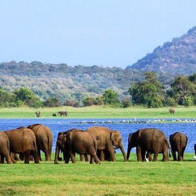 Minneriya-Elephants