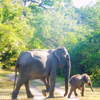Yala Elefanten