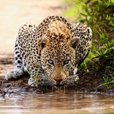 Yala Leoparden