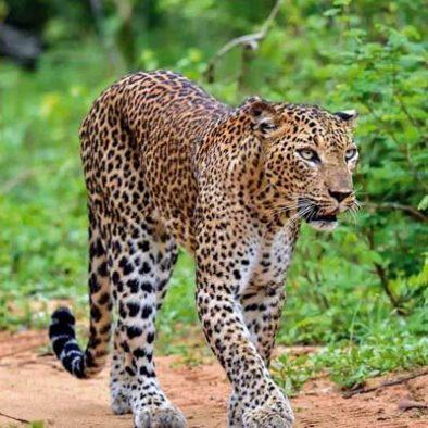 Yala-Leopard