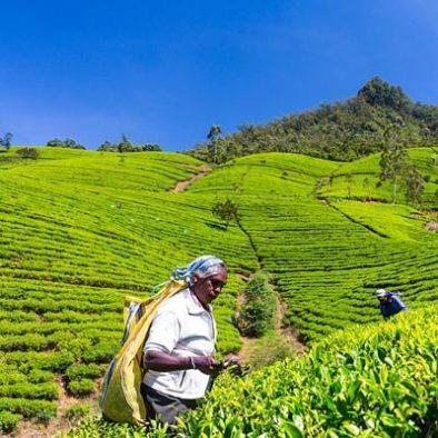 Besuchen Sie eine Teefabrik und Teeplantage
