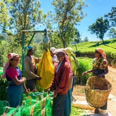 Teearbeiter Sri Lanka