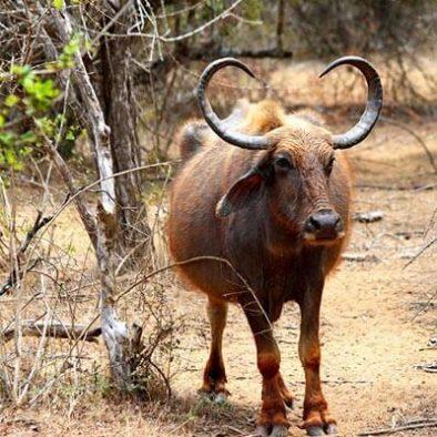 Yala Water Buffalo